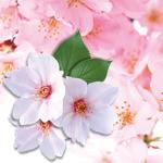 【春限定商品】桜の和菓子登場!