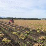 今年も無事に小豆の収穫ができました。